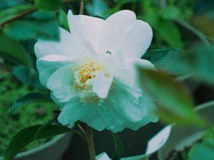 "Camellia ""Winter's Dream"""