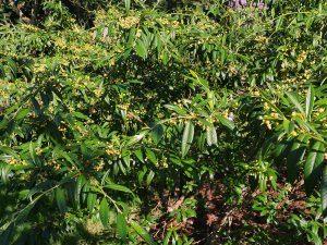 Cotoneaster 'Exburyensis'