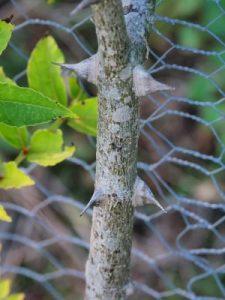 Zanthoxylum coreanum