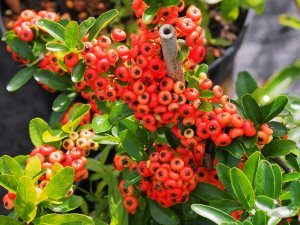 Pyracantha 'Saphyr Red' and 'Saphyr Orange'