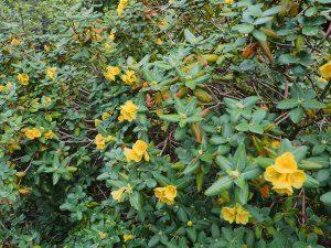 Rhododendron concatenans