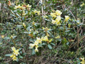 Rhododendron 'Yellow Hammer'