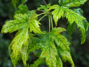 Acer saccherinum
