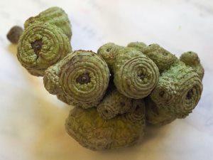 Lithocarpus cleistocarpa