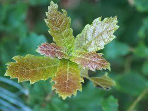 Quercus greggii