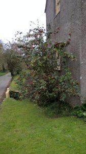 Cotoneaster bullatus