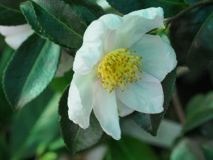 Camellia 'Shinonome'