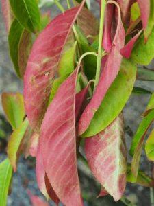 Euonymus grandiflorus 'Ruby Wine'
