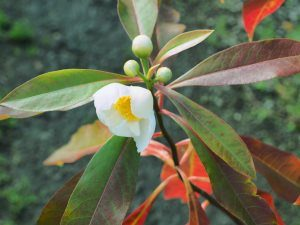 X Gordolina grandiflora