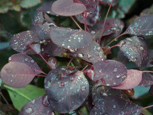 Cotinus coggyria 'Lilla'
