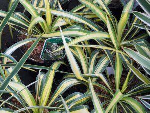 Yucca flaccida 'Color Guard'