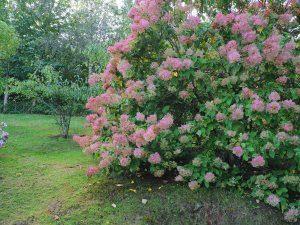 Hydrangea pariscoleta 'Kyushu'