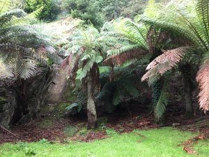 Tree ferns in the quarry