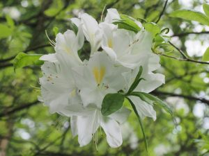 Nearly pure white deciduous azalea