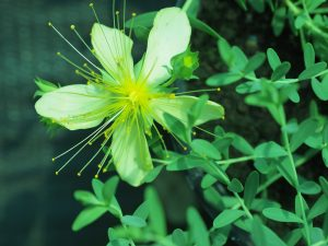 Hypericum olympicum 'Citrinum'