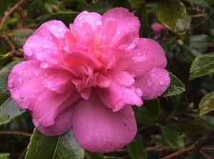 Camellia sasanqua 'Sparkling Burgundy'