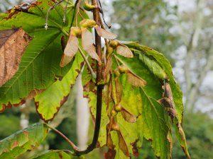 Acer caesium subsp. giraldii