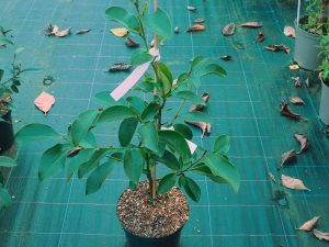 Magnolia (Michelia) 'Fairy Lime'