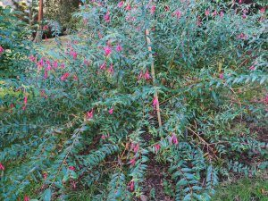 Fuchsia hatsbachii