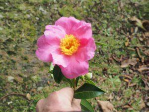 Camellia 'November Pink'