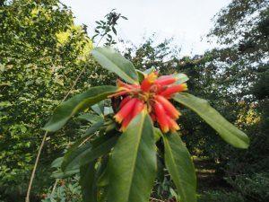 Rhododendron keysii