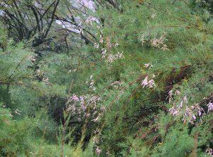 Tamarix ramoisissima
