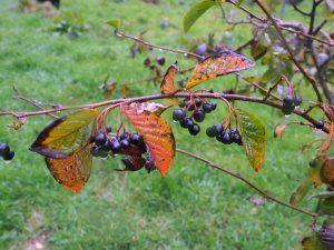 Cotoneaster moupinensis