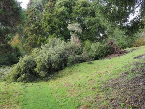 ilex oaks