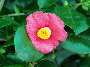 Camellia 'Tregye'