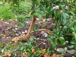 Camellia sasanqua 'Variegata'