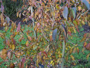 Another Stewartia sinensis