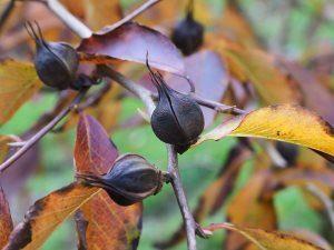 Stewartia monodelpha