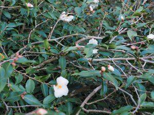 Camellia 'Cornish Snow'