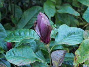 Magnolia lilliflora 'Nigra'