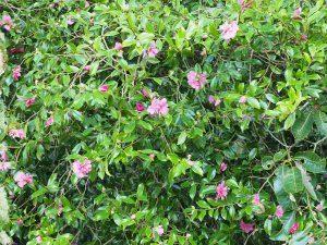 Camellia sasanqua 'Dazzler'