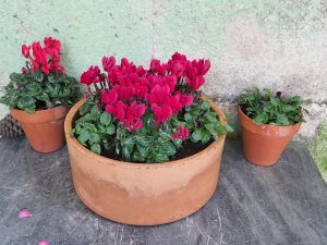 cyclamen and winter pansies