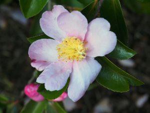 'Plantation Pink'
