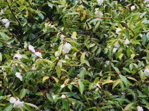 """Camellia """"Snow Flurry"""""""