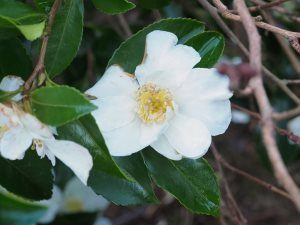'Trewithen White'