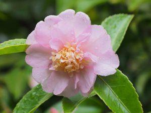 """Camellia """"Winter's Interlude"""""""
