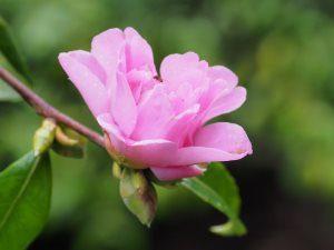 "Camellia ""Winter's Toughie"""