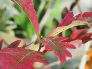 Quercus x wavei 'Chimney Fire'