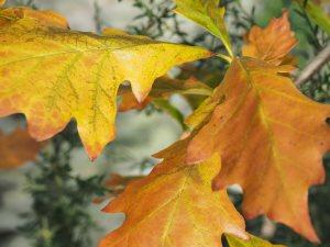 Quercus x schuettii 'Silver Shadow'