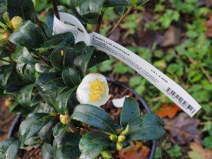 Camellia sasanqua 'Survivor'