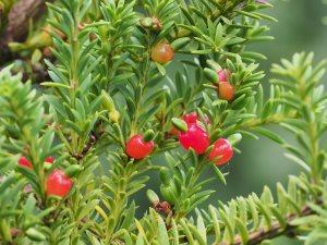 Podocarpus nivalis 'Kralingen'