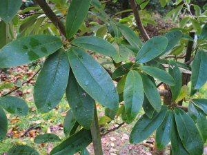 Magnolia (Manglietia) decidua