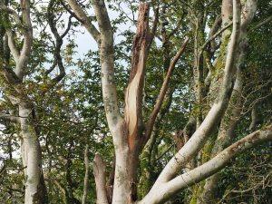 Magnolia salicifolias
