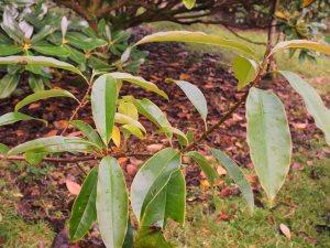Magnolia caveana