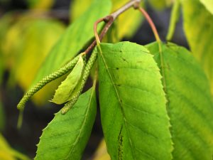 Betula luminifera 'White House Farm'