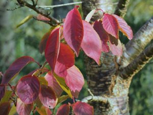 Prunus 'Matsumae Beni-yutaka'